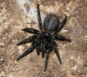 Araña de Sidney